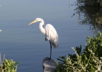 Great-Egret-001