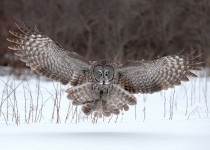 Great-Gray-Owl-Landing