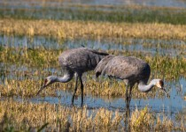 Greater-Sandhill-Cranes-Bookends