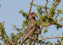House-Finch2
