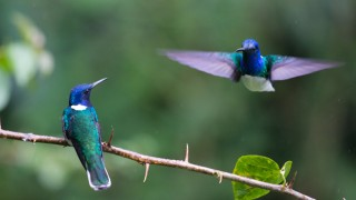 White-necked Jacobins ©2014 Lucian Parshall