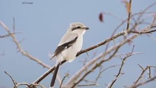 Northern-Shrike-6