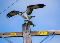 Osprey-with-fish