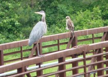 blue-heron-and-hawk-2