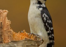 hairy-woodpecker-on-birch-tree-2-EA7G1050