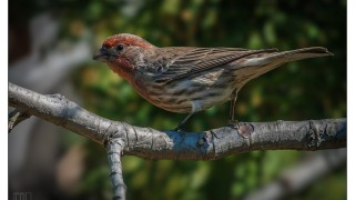 housefinch1_110714