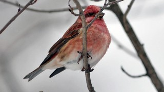 purplefinch0225-copy