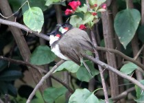 red-whisked-bulbul