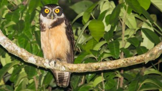 spectacled-owl-7098