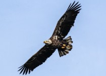 Bald-Eagle-Flight
