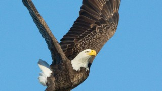 Bald-Eagles-300-of-587-1
