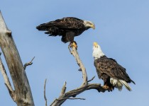 Bald-Eagles-Together