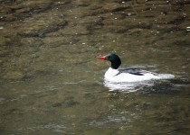 Common-Merganser-9830