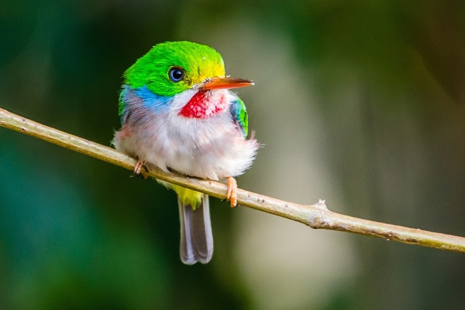 Cuban Tody, a Cuban endemic bird species, on Cayo Coco, Cuba, by Maureen Breakiron-Evans.