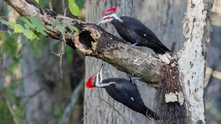 Pileated Woodpeckers ©2014 S. Hunter Spenceley