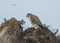 Kestrels-Christmas-dinner-2