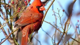 P1170201-Cardinal
