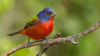 Painted Bunting in Tamarac, Florida, March 9, 2014, by Igor Perezh.