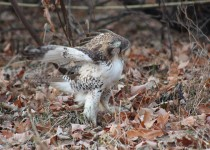Red-tailed-Hawk-juv-Dec.-7-2014-2