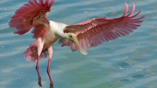 Roseate Spoonbill near Viera Wetlands, Florida, by geopix.