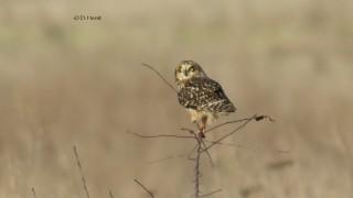 Short-eared-Owl-3