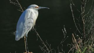 Snowy-Egret1