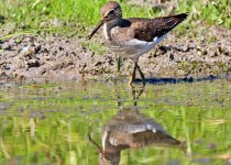 Solitary_Sandpiper_Small