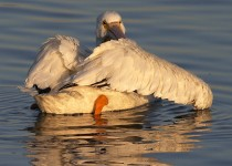 White-Pelican_1066-copy