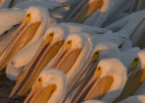 White-Pelicans_1052-copy