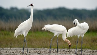 Whooping Cranes at Aransas National Wildlife Refuge, Texas, February 2008, by Klaus Nigge/US Fish & Wildlife Service. Wikimedia Commons.