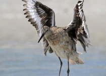 Willet_Bathing_Small