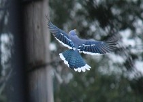 bluejay10-9-14-shelu-198c