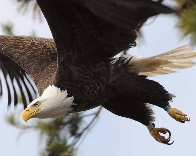 Bald Eagle ©2008 Alex Westner