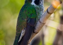 white-eared-hummingbird