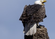 Bald-Eagle-12-of-1