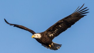 Bald Eagle, Upper Mississippi River National Wildlife Refuge, photo courtesy of Stan Bousson.