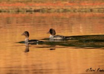 Barrows_Goldeneye2_Small
