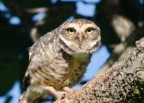 BirdWatching-Mgz-Burrowing-Owl
