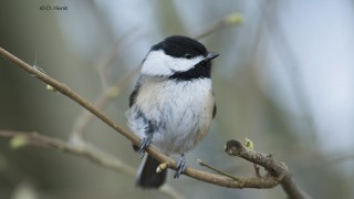 Black-capped-Chickadee-01