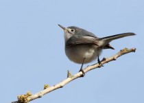 Blue-gray-Gnatcatcher_edited-1