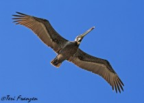 Brown_Pelican_Flight_Sgn_Small