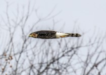 Coopers-hawk-in-flight-side-view