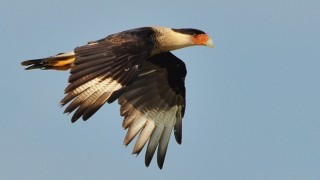 Crested Caracara in Kenansville, Florida, by geopix.