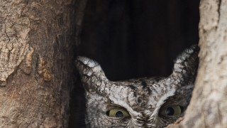 Eastern-Screech-Owl-hiding