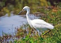 Egret-at-LSU-lakes