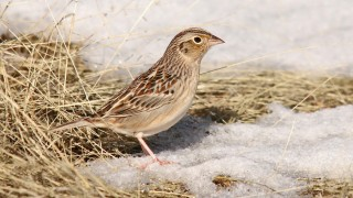 Grasshopper-Sparrow-Red-Tank-Draw-1-3-15-8-200PI
