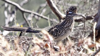 Greater-Roadrunner-Torrey-Pines-5-29-10-5-200PI
