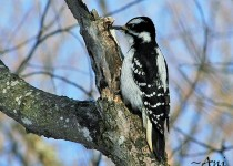 Hairy-Woodpecker-Female3