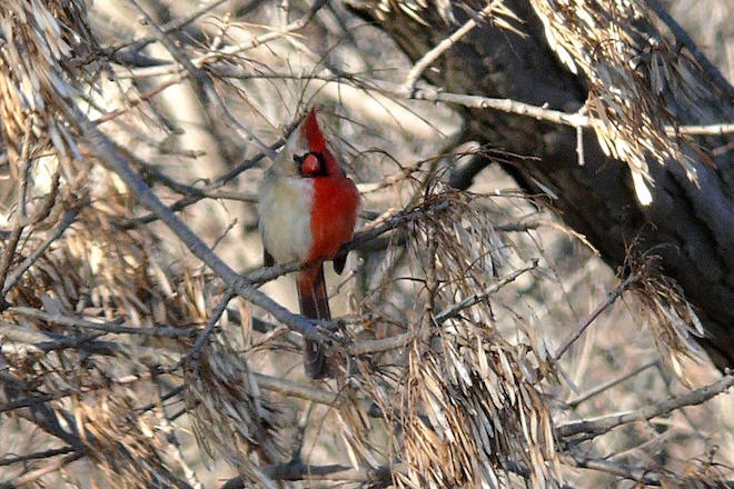 Bilateral gynandromorph Northern Cardinal, photo by Brian D. Peer.
