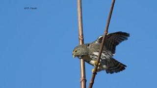 Northern-Pygmy-Owl-001